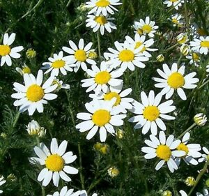 1 gm (approx 1600 seeds) Native Corn Chamomile Seeds Wild Flower Seeds
