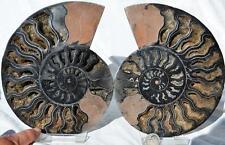 "8213 RARE 1in100 BLACK Ammonite PAIR Deep Crystals 110myo FOSSIL XXL 184mm 7.2"""
