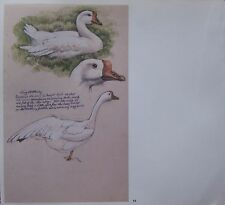 BEAUTIFUL VINTAGE BIRD PRINT ~ STUDIES OF DOMESTIC GOOSE ~ TUNNICLIFFE