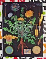 Jung-Koch-Quentell Herbarium School Poster Pisselit or Tooth-of-Lion Pissenlit