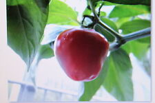 5 Seeds Tree Chilli, Red, Perennial,#280