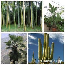 Les semences de plantes tropicales géant collection-Palm cactus bambou Strelitzia-Mega Pack