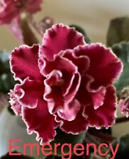 African Violet Emergency. Perfect Gift For Our National Heroes!