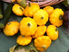 Golden Scalloped summer SQUASH patty pan 20 seeds Organic NON-GMO Heirloom