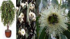 Zimmer-Duftbaum Pfefferminz-Eukalyptus vertreibt sehr gut Mücken & Motten /Samen