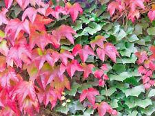 1 Parthenocissus tricuspidata plug Boston Ivy Creeper purple scarlet Vine