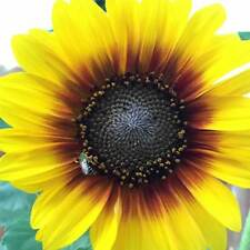 Sunflower Flower Garden Seeds - Ring Of Fire -100 Seeds - Annual Wildflower