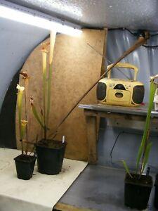 S x moorei Silvia Luise X S 2020//GH//64 Fresh Sarracenia Seed leuco pink L131
