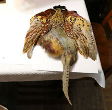 Lot of 3 Ringneck Pheasant Skin Feathers Fly Fishing Tying