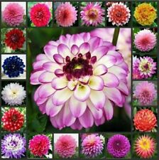 100 Pcs Dahlia Flower Seeds Rare Perennial Plant Mixed Color in Home Garden