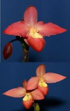 Phragmipedium Summer Sun (Eric Young 'Rocket Fire' x Waunakee Sunset 'Cherry')