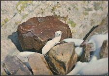 AA5724 Ermellino in abito invernale - Cartolina postale - Postcard