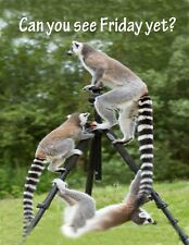 METAL MAGNET Ring Tailed Lemurs Lemur Can You See Friday Yet Office Humor