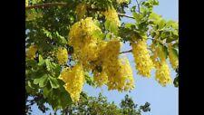 20 x GOLDEN RAIN TREE Seeds-KOELREUTERIA paniculata - 'Pride of India' Tree