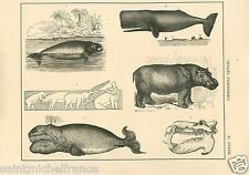 Dugong Cachalot Hippopotame Baleine Crocodile Hippo Sperm GRAVURE OLD PRINT 1884