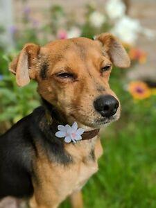 HandMade White CherryBlossom Dog Collar Accessory Felt Flower Slide onto collar