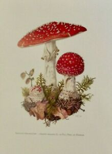Planche poster art print map Affiche Botanique Champignon Amanite Tue-Mouche