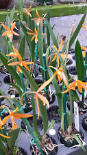 Orchid Bpl. Golden Peacock Orange Beauty near spike Exotic Tropical Plant