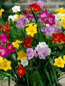 FREESIA SUMMER FLOWER BULBS/CORMS SINGLE MIXED PERENNIAL GARDEN PLANTING SPRING