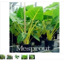 50 seeds Heirloom Alocasia Macrorrhiza Green Giant Taro Graines