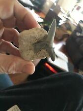 Rare Eocene Shark Striatolamia mascrota in matrix!!!