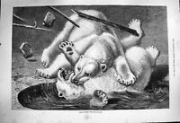 Original Old Antique Print 1877 Fight Between Polars Bear Wild Animals Fine Art
