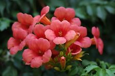 Garten Pflanzen Samen winterhart Zierpflanze Saatgut Rankpflanke KLETTERTROMPETE