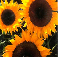 SUNFLOWER - Full Sun ** POLLEN FREE** 10 seeds