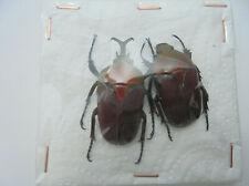 EUDICELLA aethiopia (forme rufino rare) M+F A1, M 36 mm, F 31 mm