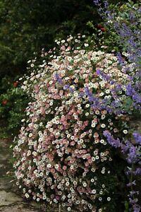ERIGERON karvinskianus 'Profusion' (Fleabane / Daisy) approx. 200 seeds