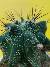 Astrophytum ornatum CV. KIKKO OLD OWN ROOTS aztekium ariocarpus copiapoa