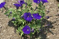 50 Pelleted Petunia Seeds Picobella Blue