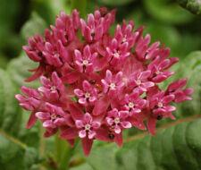 Asclepias purpurascens Purple Milkweed (Monarch Host Plant) 30 seeds