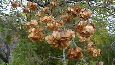 35+ HOP  TREE SEEDS,PTELEA TRIFOLIATA, USED IN BREWING BEER AND ORNAMENTAL