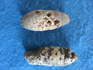 SCARCE Lot 2  petrified Pine cone Morocco 54-35 million years old RARE!!!
