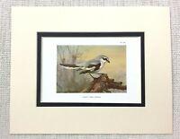 1929 Antico Uccello Stampa Eccezionale Grigio Shrike Wildlife Archibald Thorburn