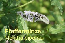 ***30ml Pfefferminzöl (Mentha piperita), USA/China