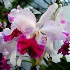 Cattleya Hybrida Flower Seeds Orchids Seeds Bonsai Potted Flowers Seeds 20 Seeds