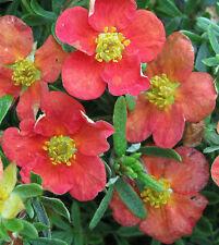 10 Stück Fingerstrauch Potentilla fruticosa Red Ace Zwergstrauch Sommerblüher