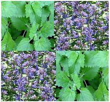 (1,000) Catnip Herb Seeds - Nepeta cataria - Combined S&H