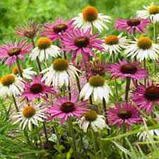 40+  Echinacea Coneflower White & Pink Flower Seeds Mix / Long Lasting Perennial