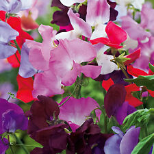 Flower Sweet Pea Spencer Mix - 150 seeds