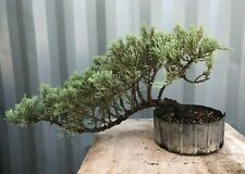 Parsoni Juniper Pre-Bonsai Tree by The Bonsai Supply