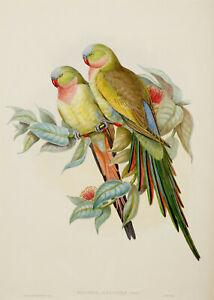 John Gould Native Bird prints exotic painting parrots Vintage Old Australia