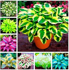 150 PCS Seeds Hosta Plants Lily Flowers Shade Grass Bonsai Ornamental 2021 New P