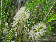 Scented Honey-Myrtle Seed Tolerates Drought Frost