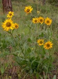 Douglas' Sunflower 100 Seeds Yellow Perennial Northwest Native Drought Hardy