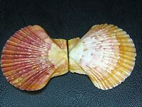 """PECTEN """"EUVOLA"""" RAVENELI:FROM THE COLLECTION OF JIM CORDY @ 30.63MM W/JIMs LABEL"""