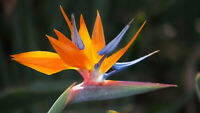 "Hawaiian Bird of Paradise Strelitzia Starter Plant -  2.5"" Pot  4 - 6"" Tall"