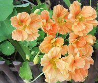Nasturtium Orange Flower Seeds from Ukraine